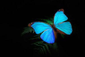 「世界で一番美しい蝶」とも呼ばれるモルフォ蝶